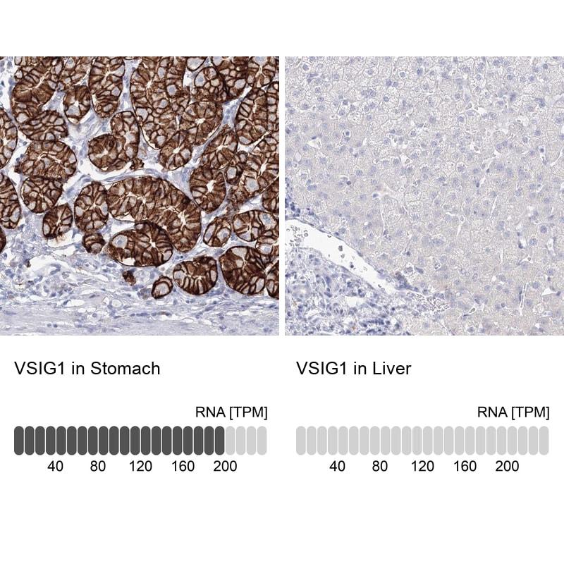 VSIG1 Antibody in Relative expression