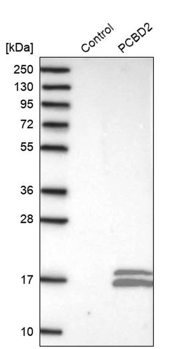 PCBD2 Antibody in Western Blot (WB)