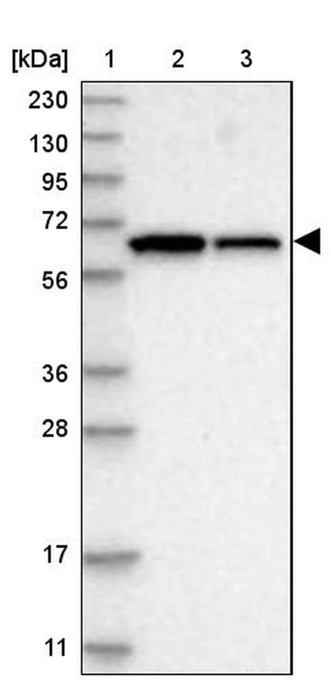 WDR1 Antibody in Western Blot (WB)