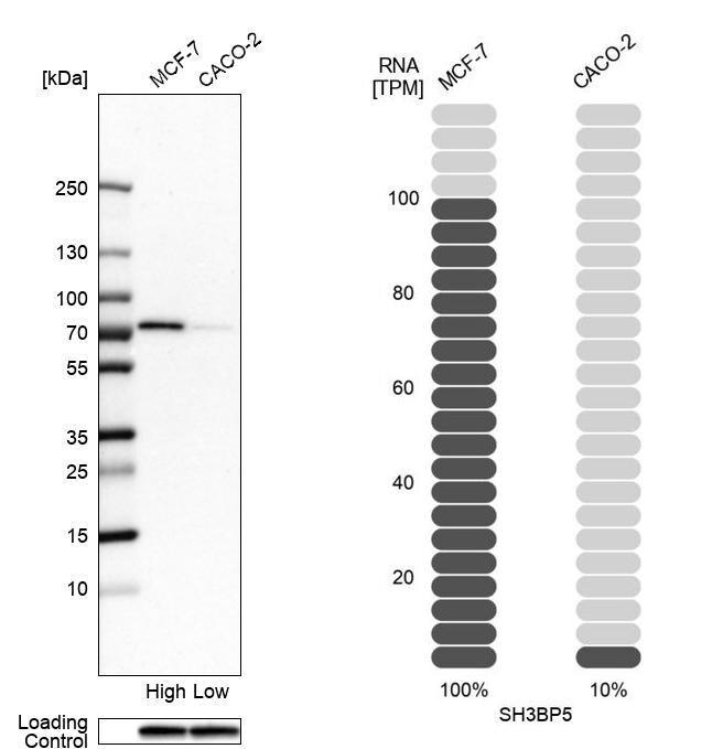 SAB Antibody in Relative expression