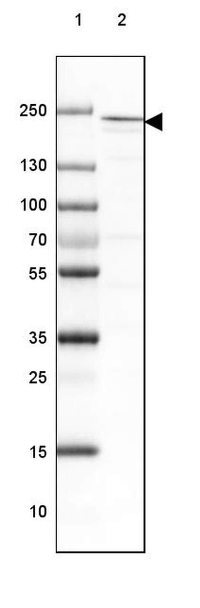 DOCK2 Antibody in Western Blot (WB)