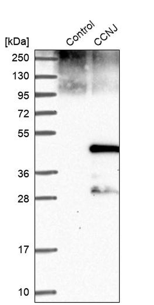 CCNJ Antibody in Western Blot (WB)