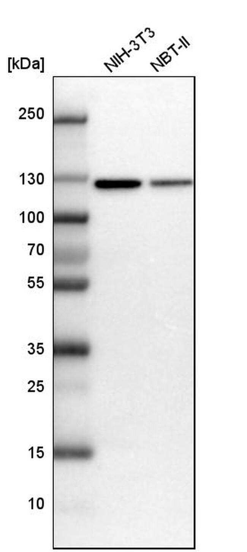 MATR3 Antibody in Western Blot (WB)