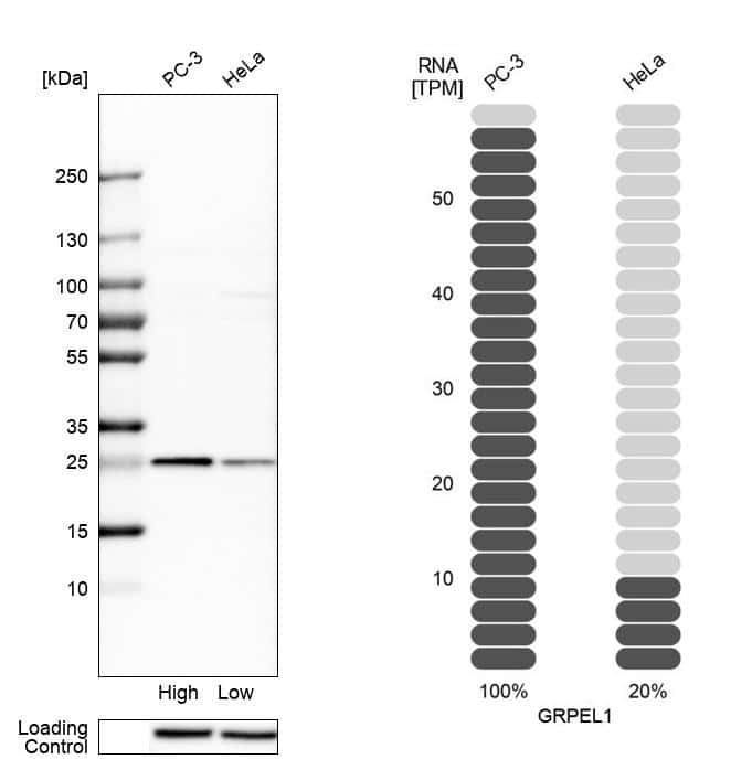 GRPEL1 Antibody in Relative expression