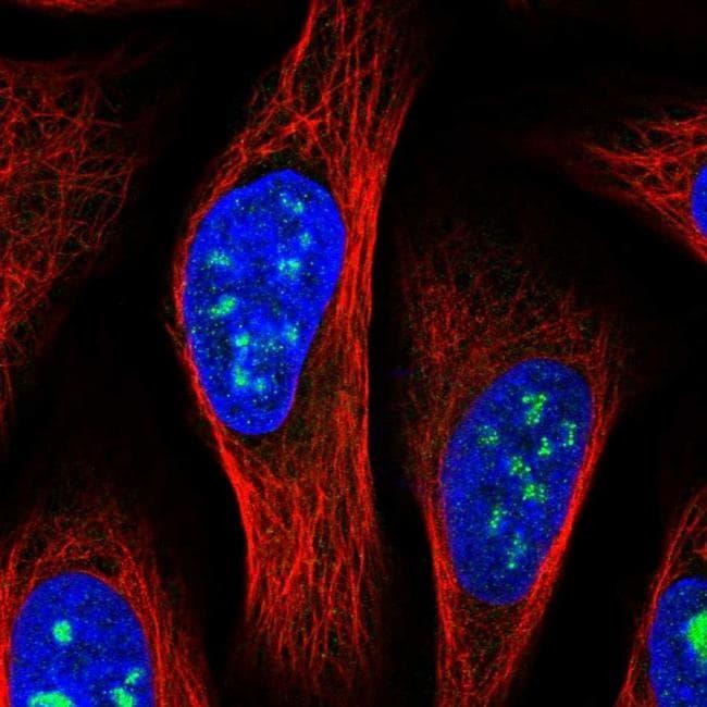 MED12L Antibody in Immunofluorescence (IF)
