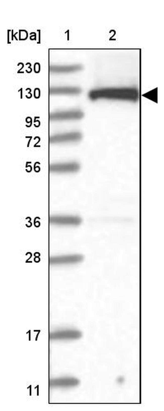 UBE1L2 Antibody in Western Blot (WB)