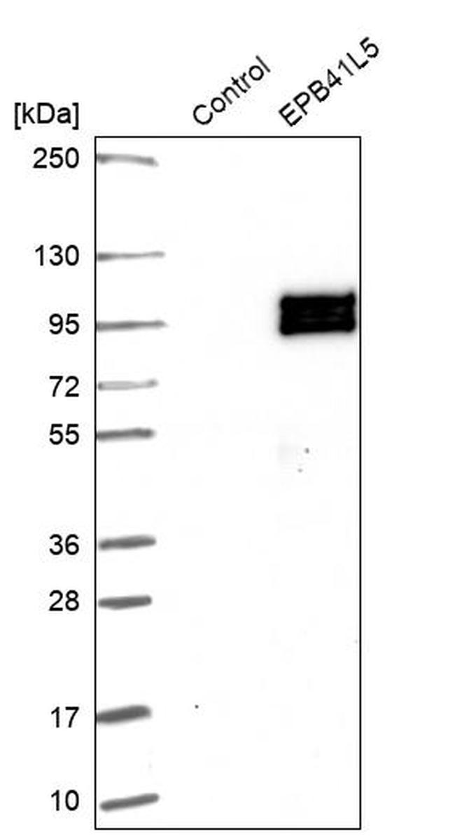 EPB41L5 Antibody in Western Blot (WB)