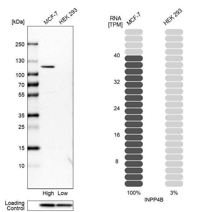 INPP4B Antibody in Relative expression
