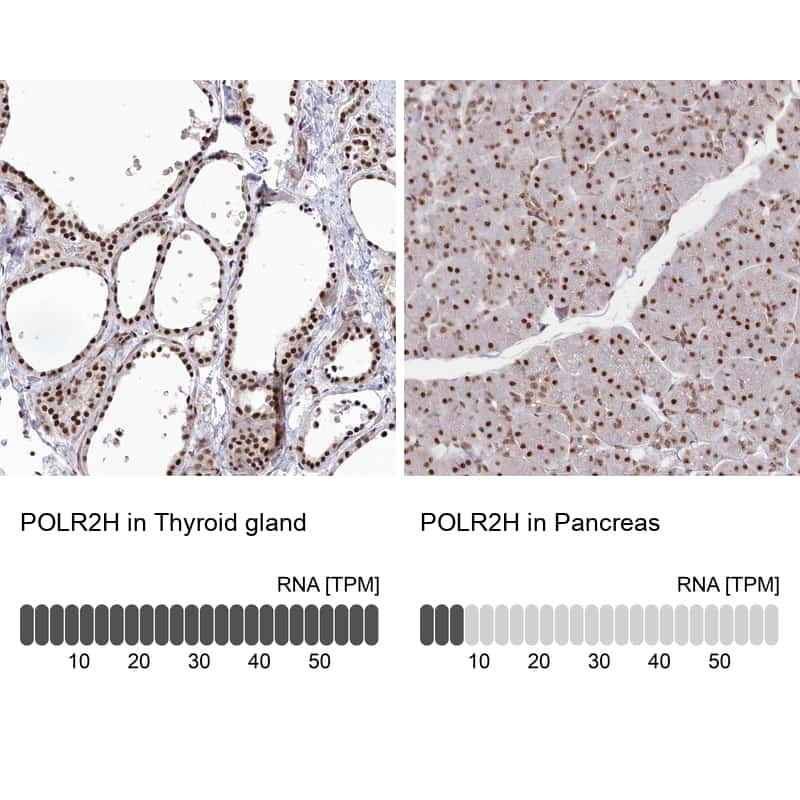 POLR2H Antibody in Relative expression