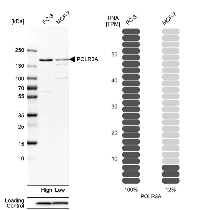 POLR3A Antibody in Relative expression