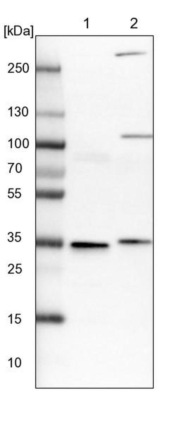 VPS37B Antibody in Western Blot (WB)