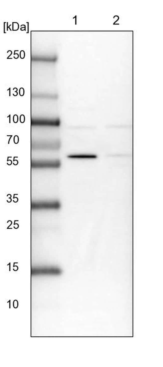 BUD13 Antibody in Western Blot (WB)