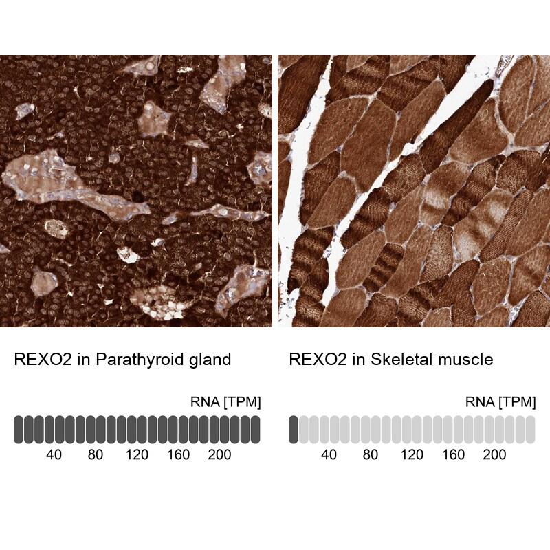 REXO2 Antibody in Relative expression