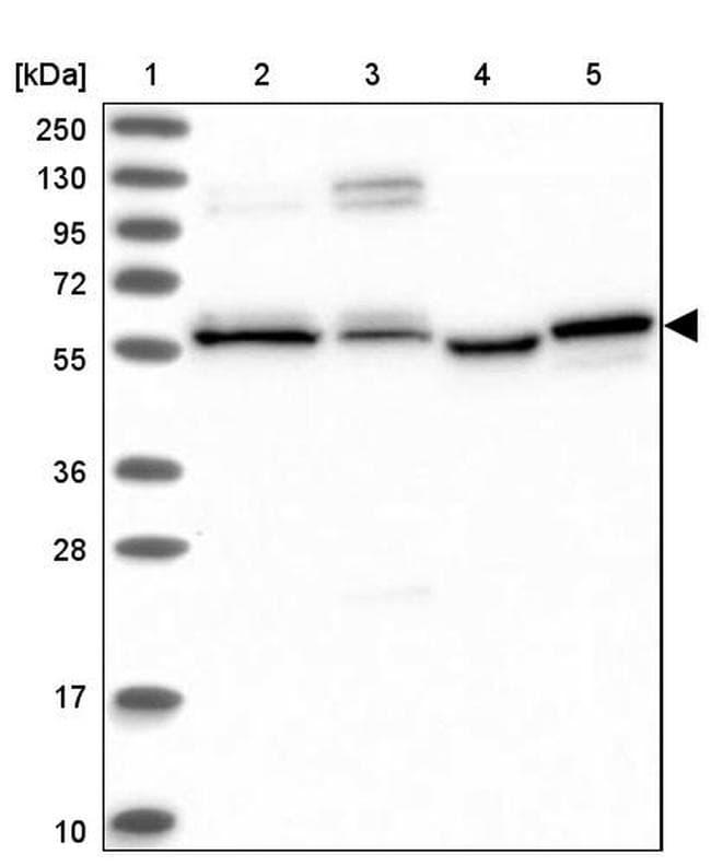 PPRC1 Antibody in Western Blot (WB)