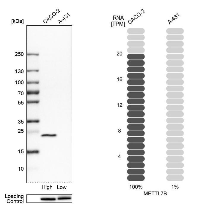 METTL7B Antibody in Western Blot (WB)