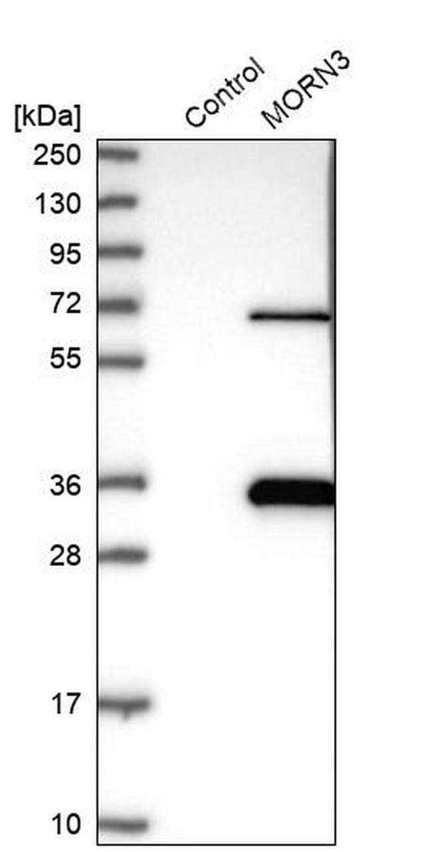 MORN3 Antibody in Western Blot (WB)