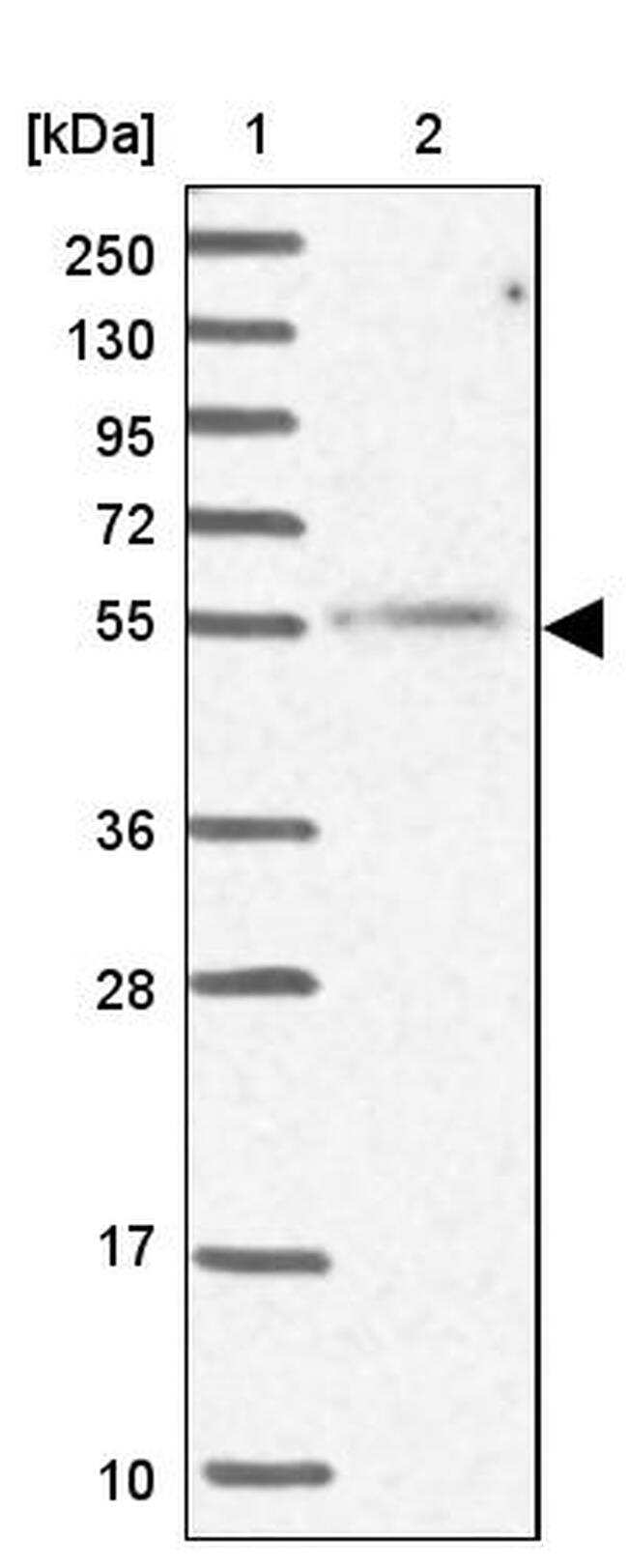 MCRS1 Antibody in Western Blot (WB)