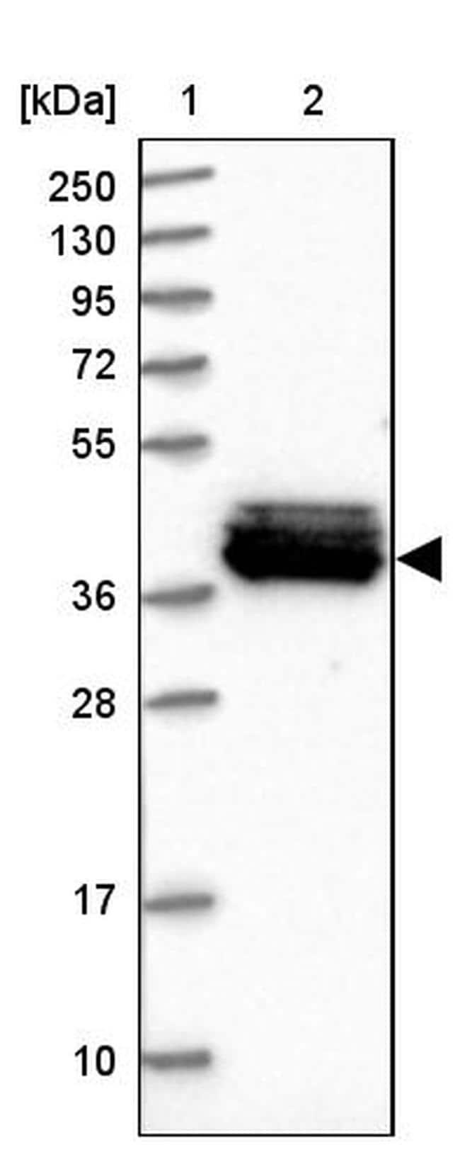 MRPS31 Antibody in Western Blot (WB)