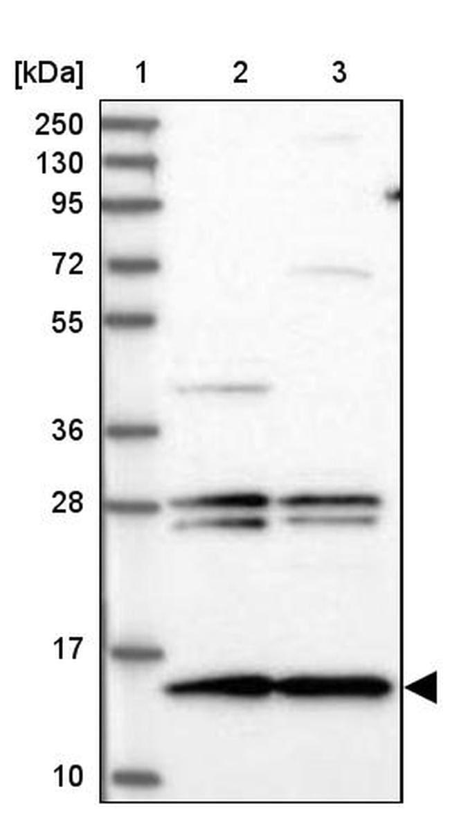 MNF1 Antibody in Western Blot (WB)