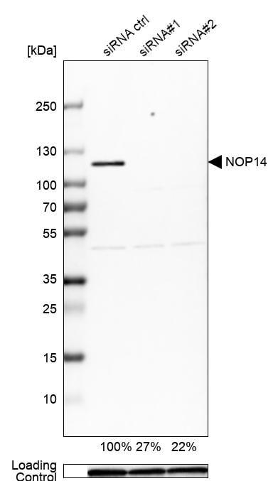 NOP14 Antibody in Knockdown