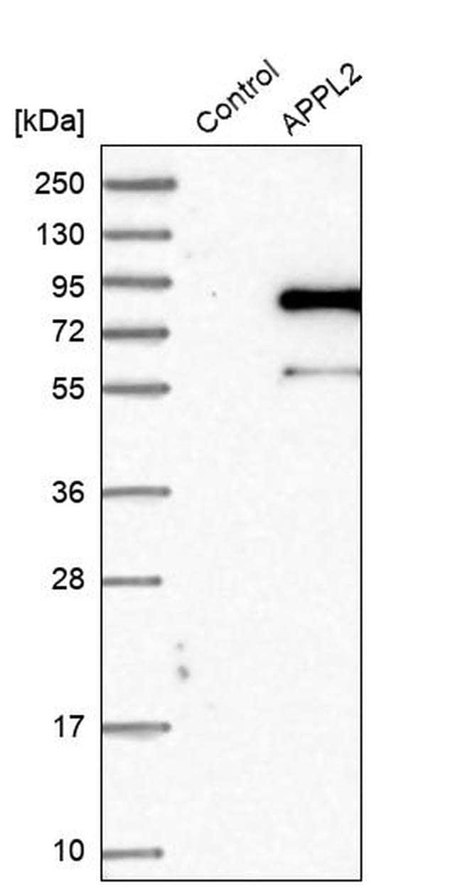 DIP13B Antibody in Western Blot (WB)