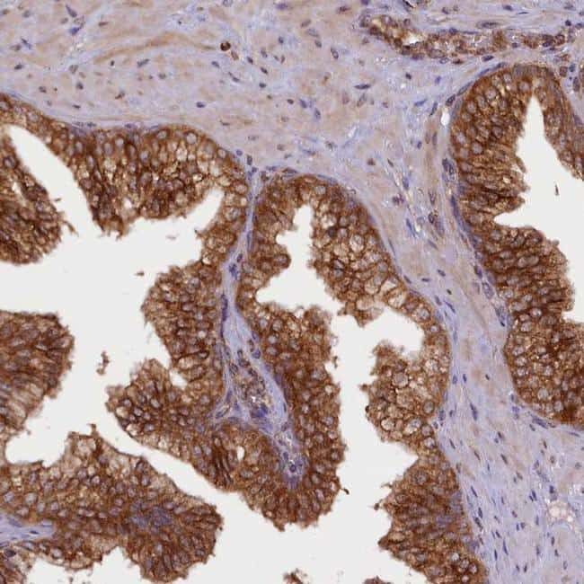 UFM1 Antibody in Immunohistochemistry (IHC)