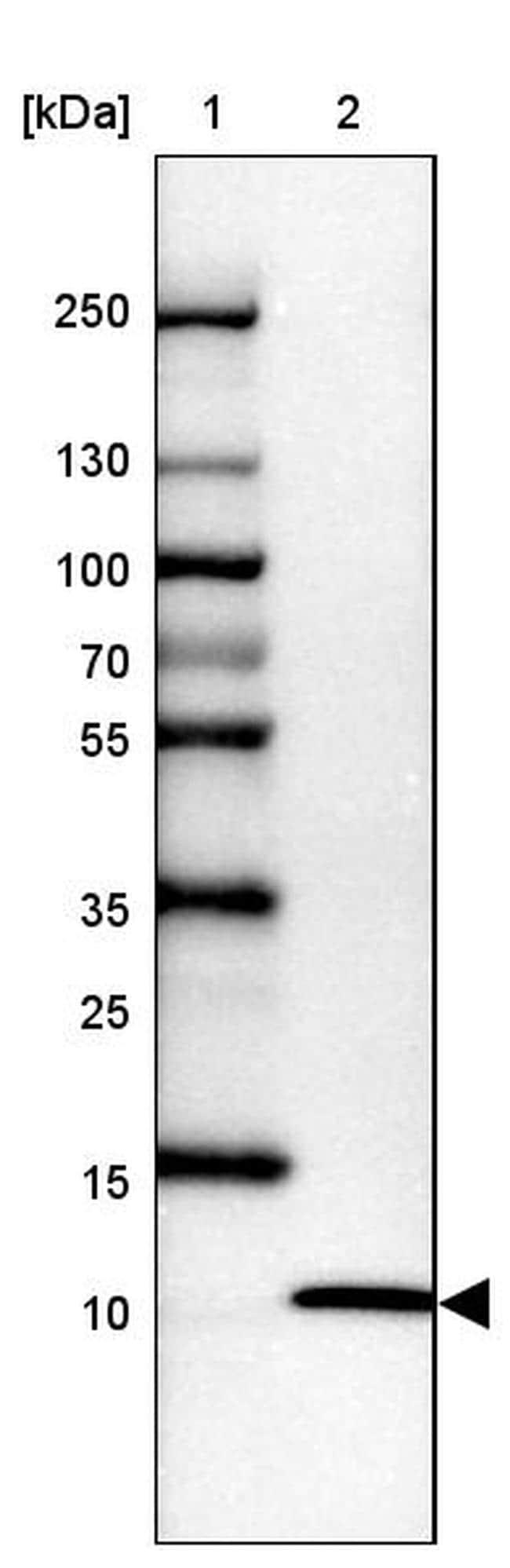 UFM1 Antibody in Western Blot (WB)