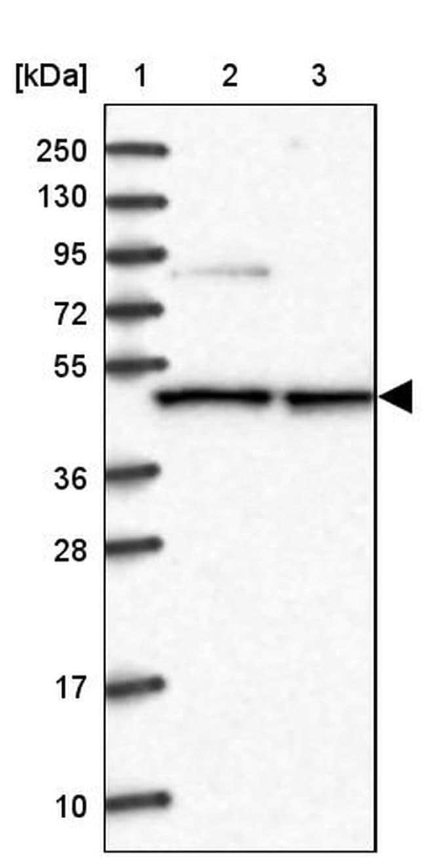 CMAS Antibody in Western Blot (WB)