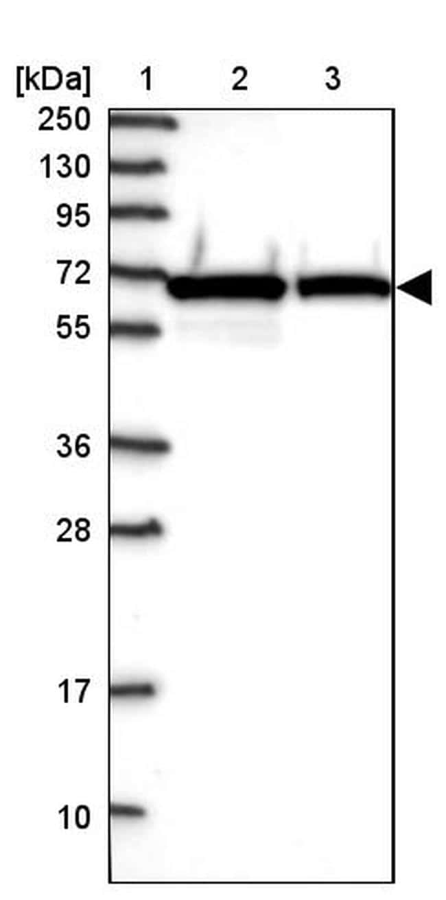 NARS Antibody in Western Blot (WB)