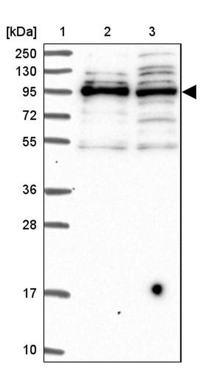 SPIRE1 Antibody in Western Blot (WB)