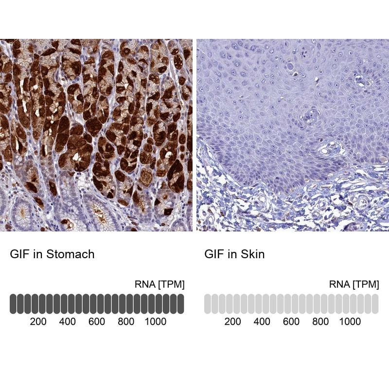 GIF Antibody in Relative expression
