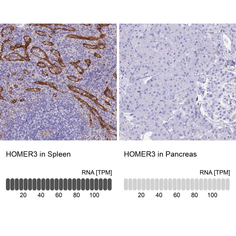 HOMER3 Antibody in Relative expression