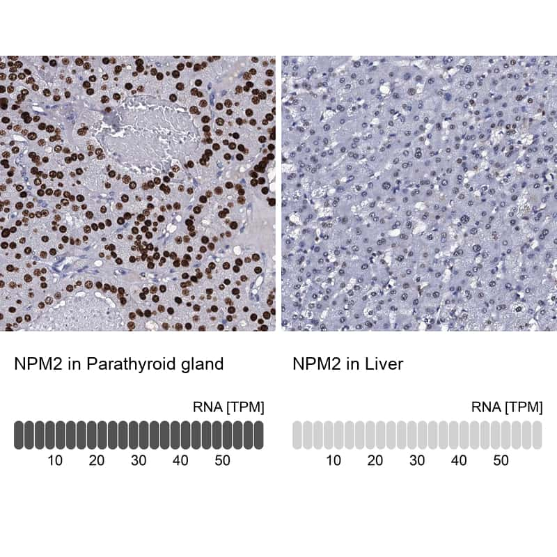 NPM2 Antibody in Relative expression