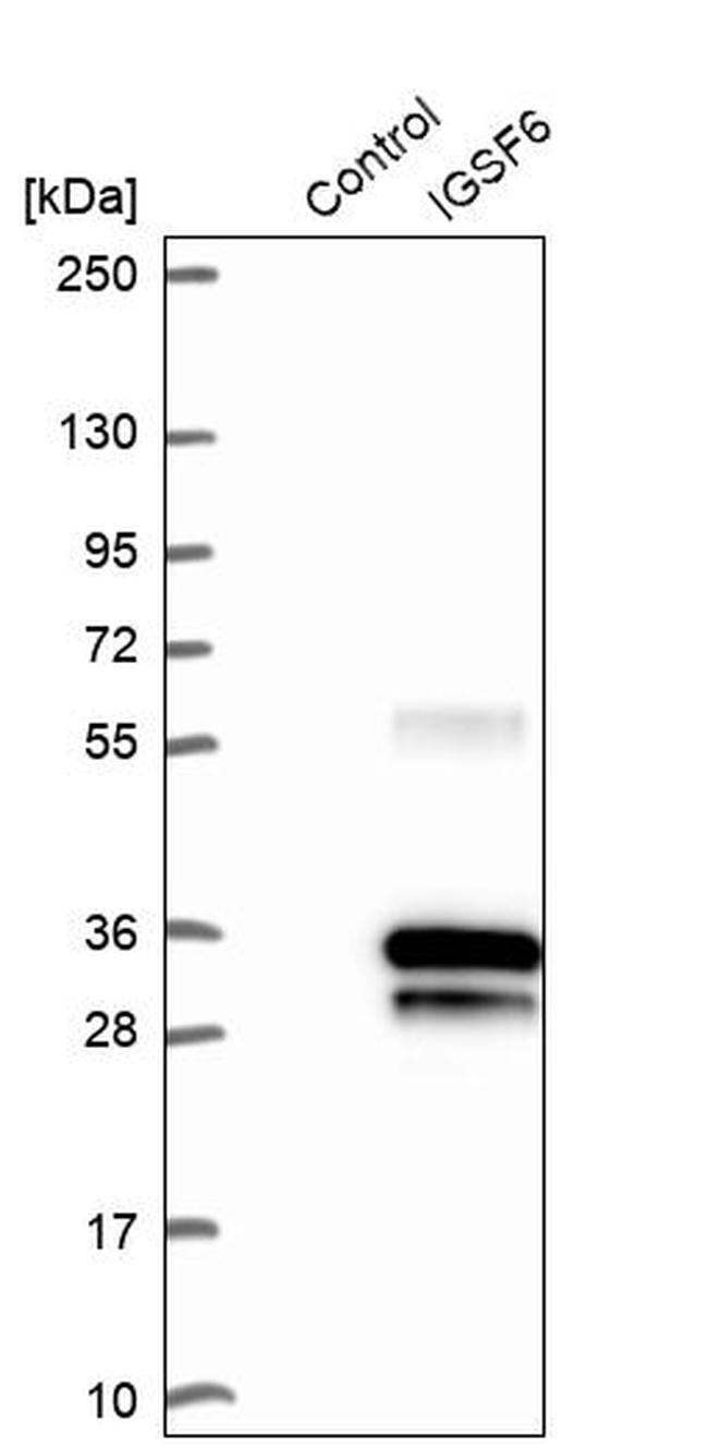 IGSF6 Antibody in Western Blot (WB)