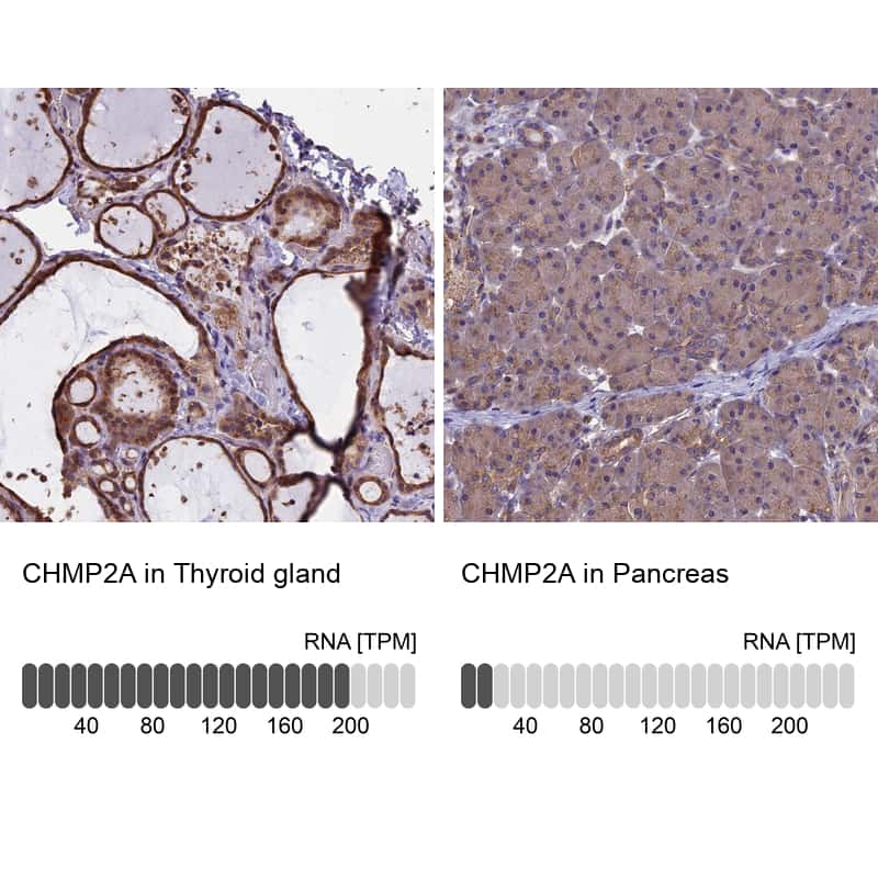 CHMP2A Antibody in Relative expression