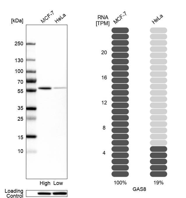 GAS8 Antibody in Western Blot (WB)