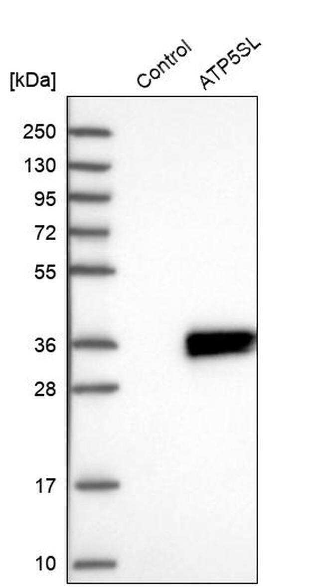 ATP5SL Antibody in Western Blot (WB)