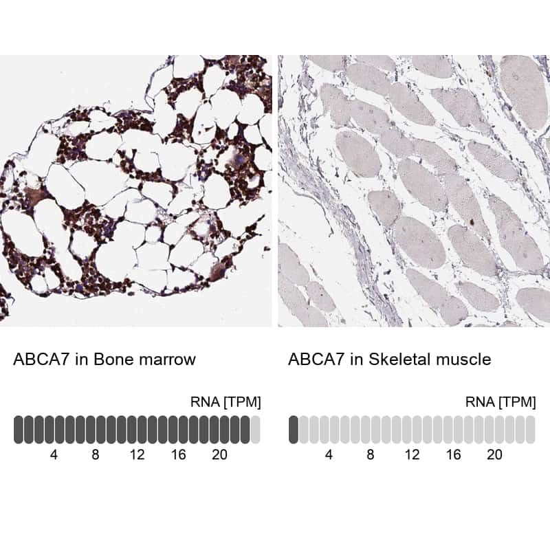 ABCA7 Antibody in Relative expression