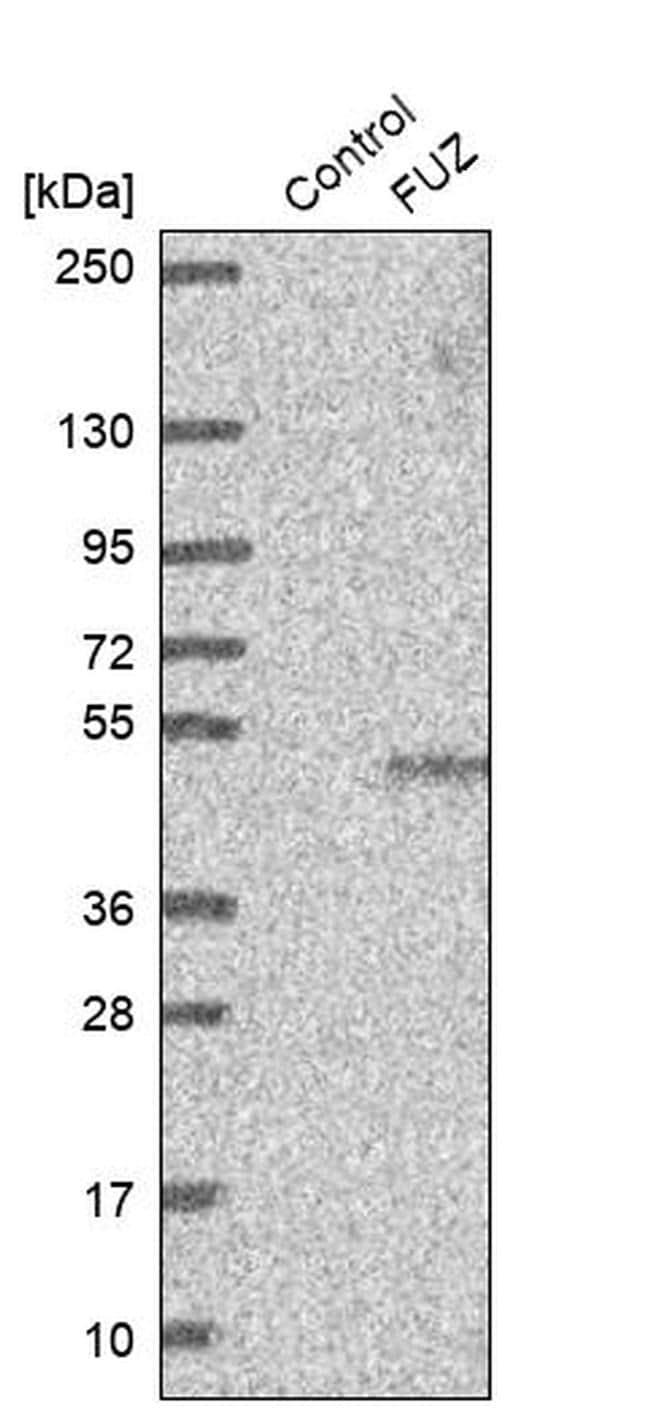 FUZ Antibody in Western Blot (WB)