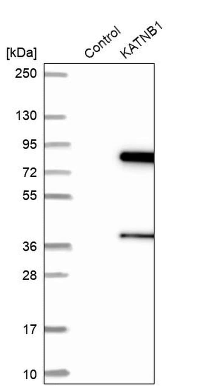 Katanin p80 Antibody in Western Blot (WB)