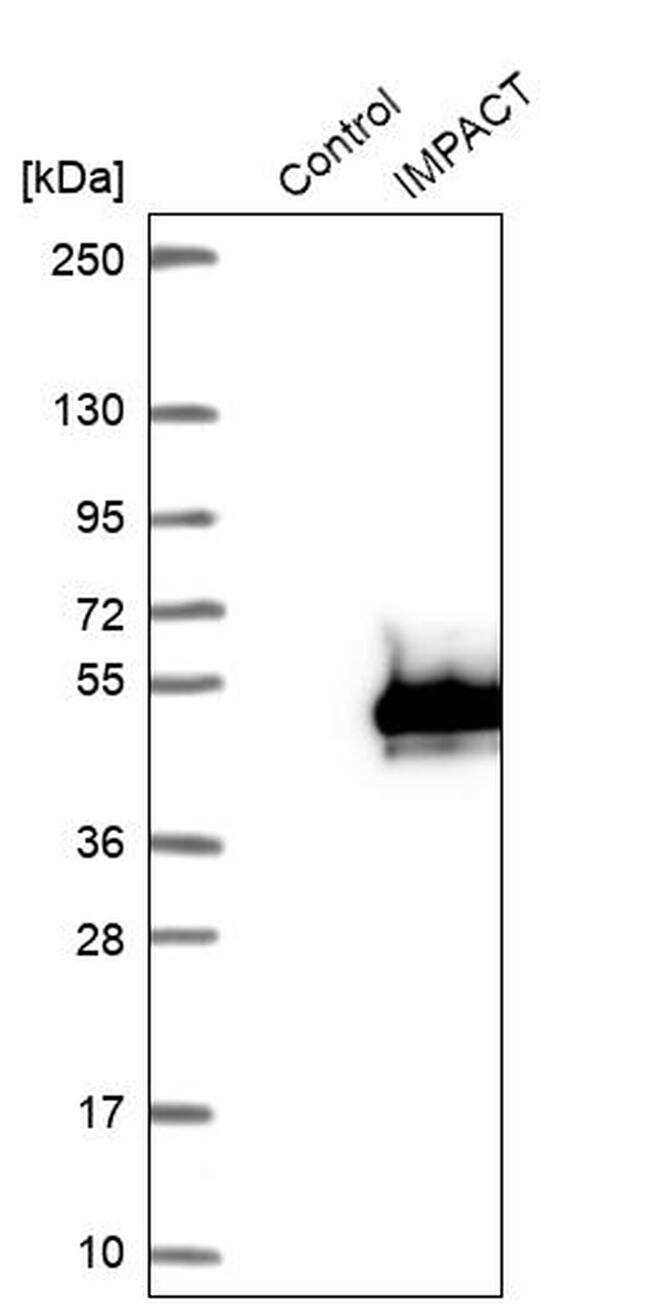 IMPACT Antibody in Western Blot (WB)