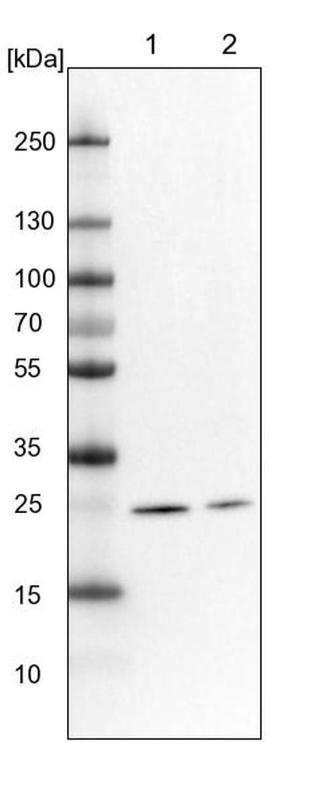 MRPS34 Antibody in Western Blot (WB)
