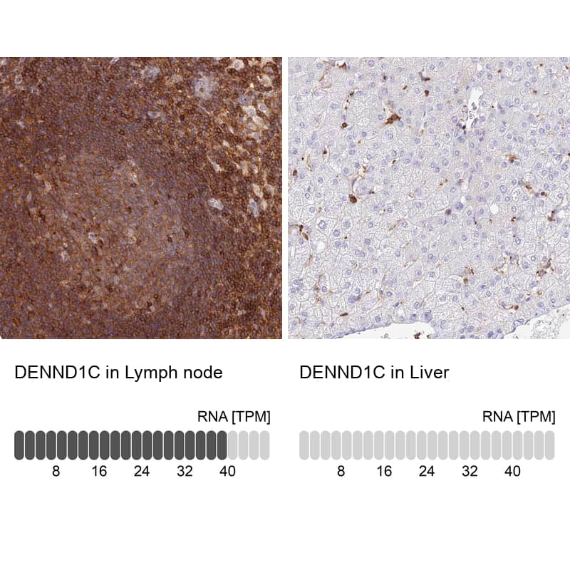 DENND1C Antibody in Relative expression