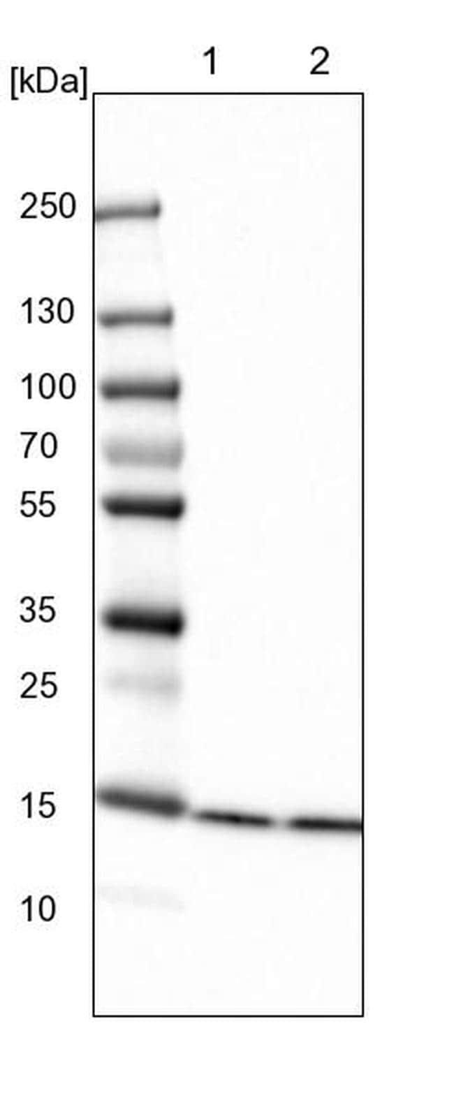 HIST2H2BE Antibody in Western Blot (WB)
