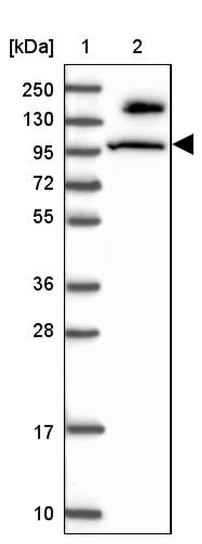 MICALL1 Antibody in Western Blot (WB)
