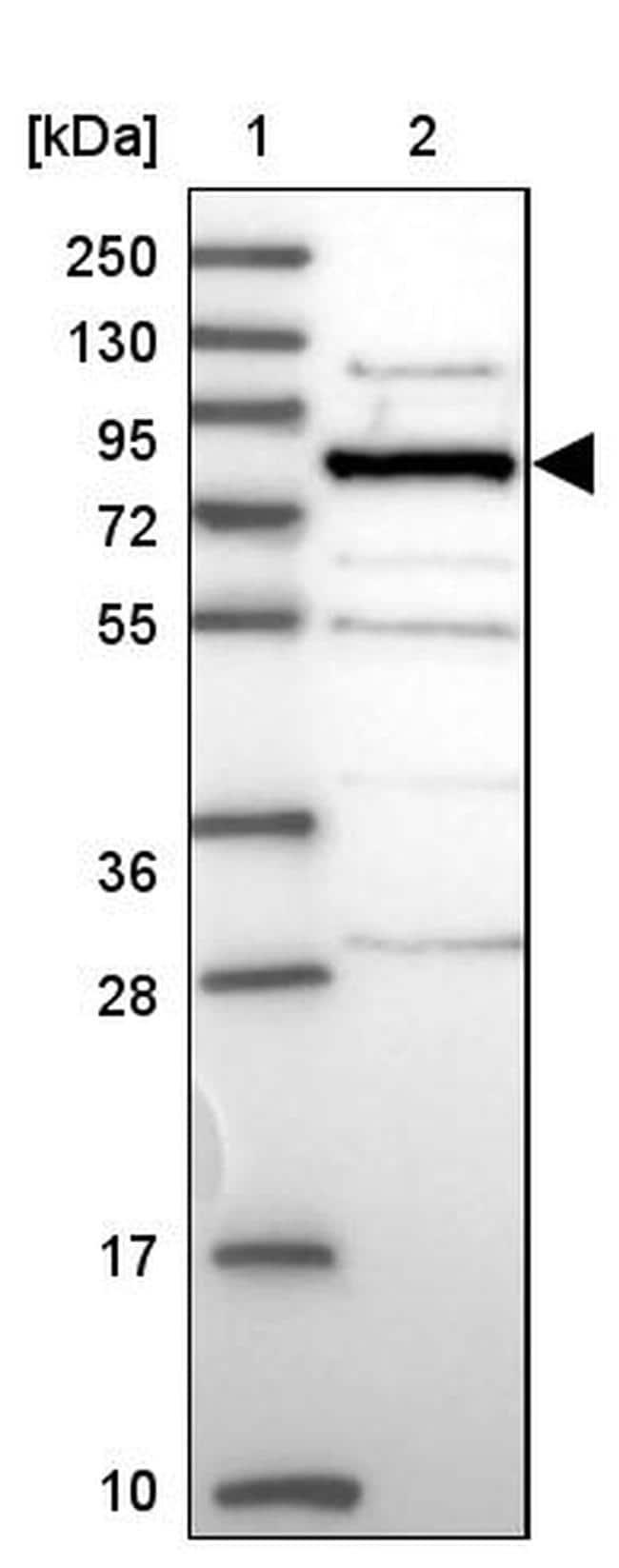 HOOK2 Antibody in Western Blot (WB)