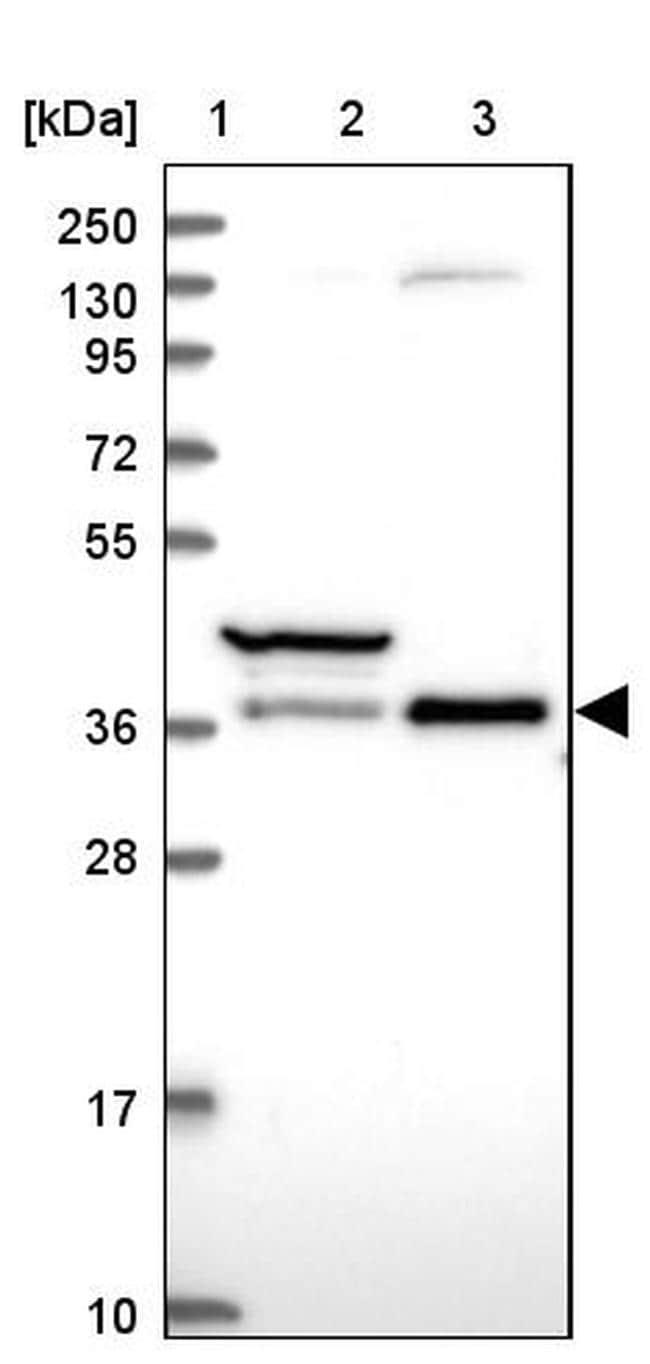 TCEA1 Antibody in Western Blot (WB)