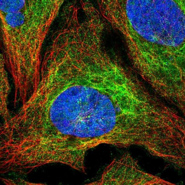SLC1A6 Antibody in Immunofluorescence (IF)