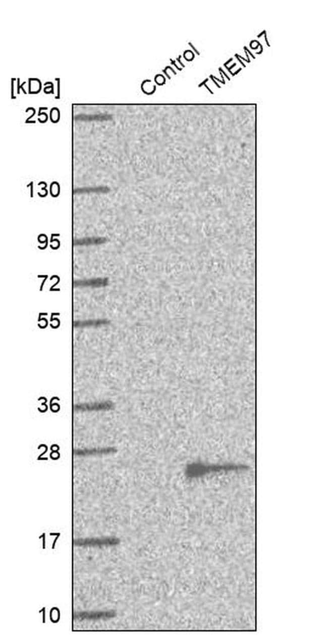 TMEM97 Antibody in Western Blot (WB)