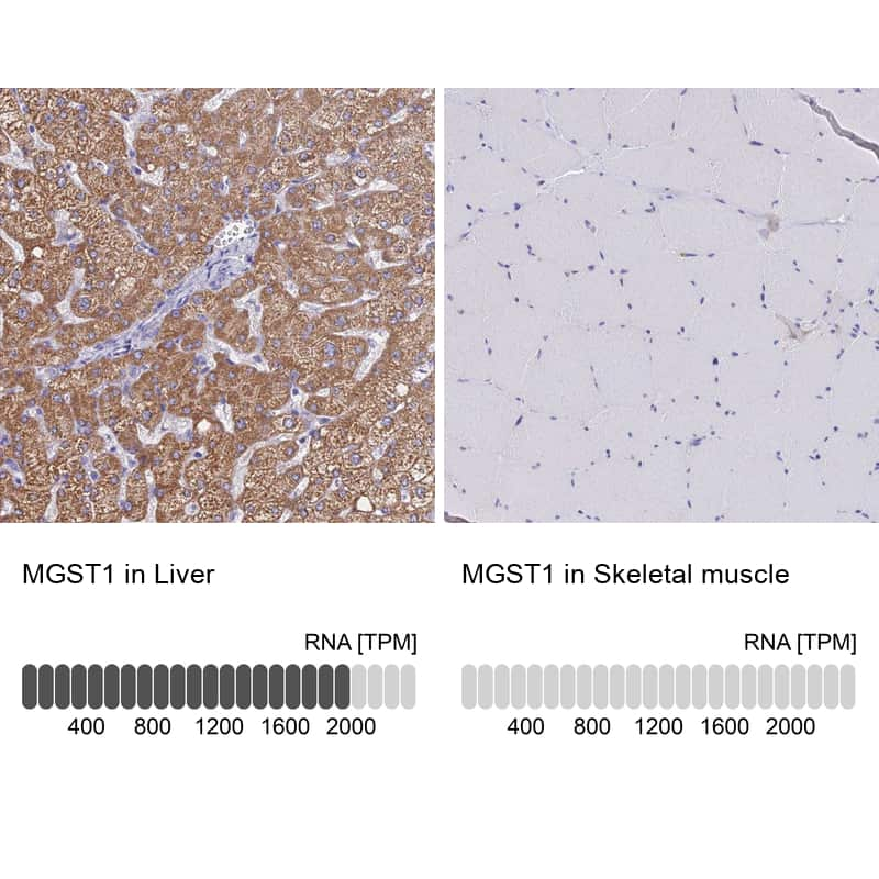 MGST1 Antibody in Relative expression